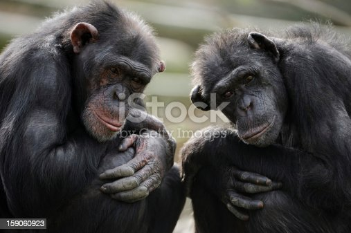 portrait of two thougtful chimpanzees
