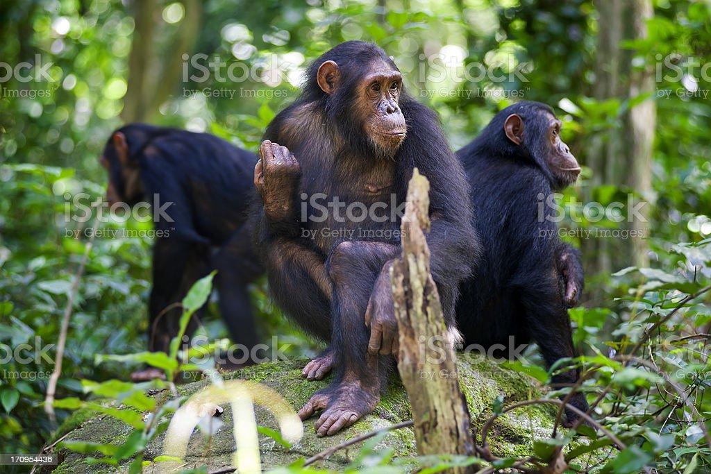 Chimpanzees sitting on a rock wildlife shot, Gombe/Tanzania stock photo