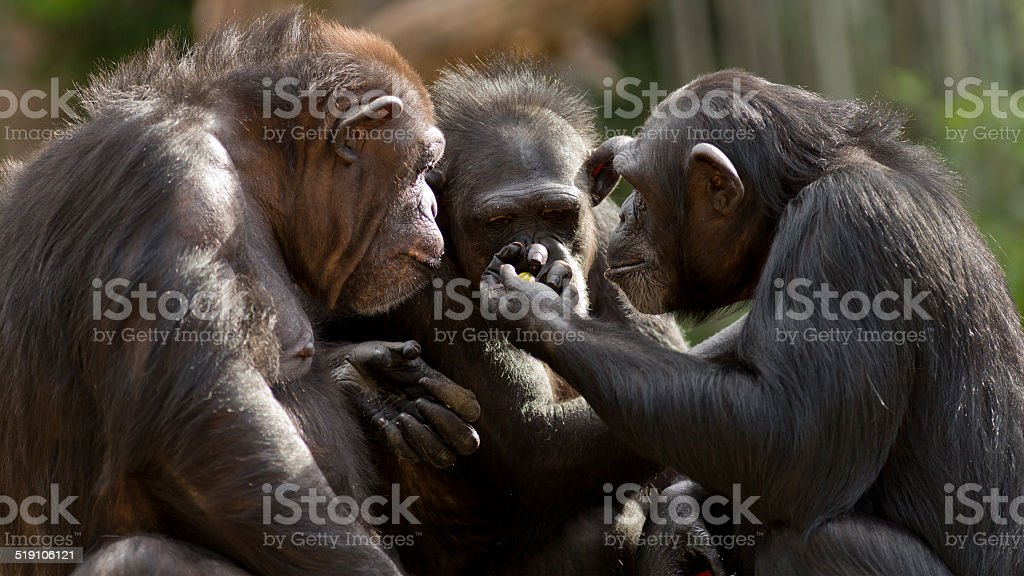 chimpanzees talk it over in committee stock photo