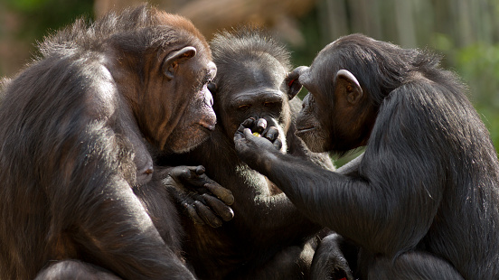Chimpanzees Talk It Over In Committee 照片檔及更多 一群動物 照片