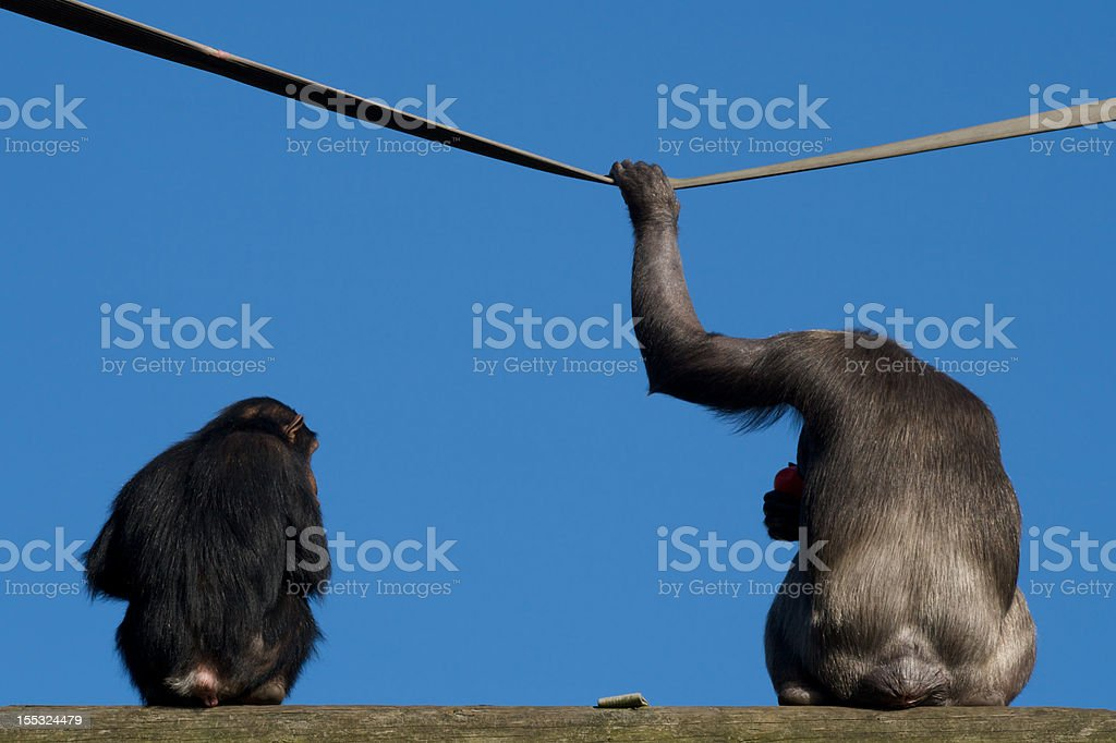 Chimps Relaxing in the Sun stock photo