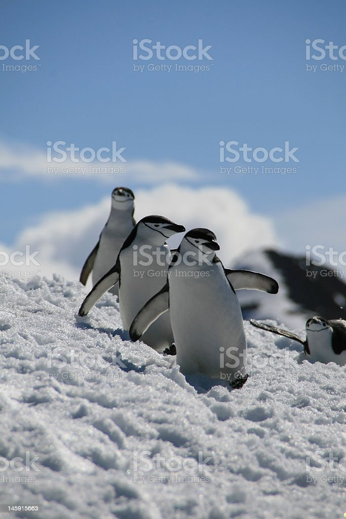 Chin Strap Penguins stock photo