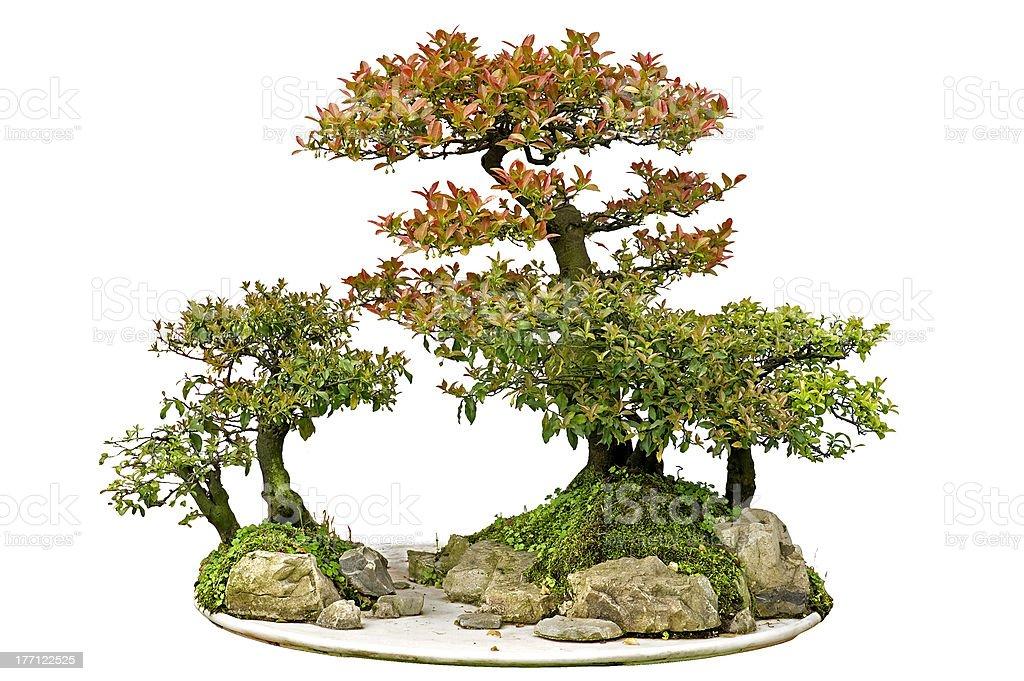 China Bonsai Stock Photo Download Image Now Istock