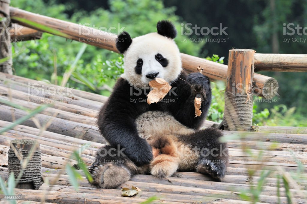 China Panda stock photo