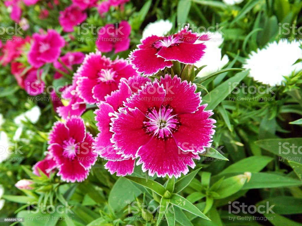 China Pink Flower Pink Dianthus Flowers Or Rainbow Pink Flower In