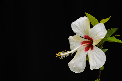 Hibiscus rosa-sinensis is a bushy, evergreen shrub. commonly known as China Rose, white and red petals ,with yellow pollen stigma.