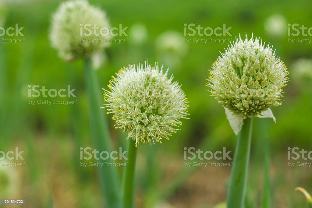 china scallion flowers stock photo