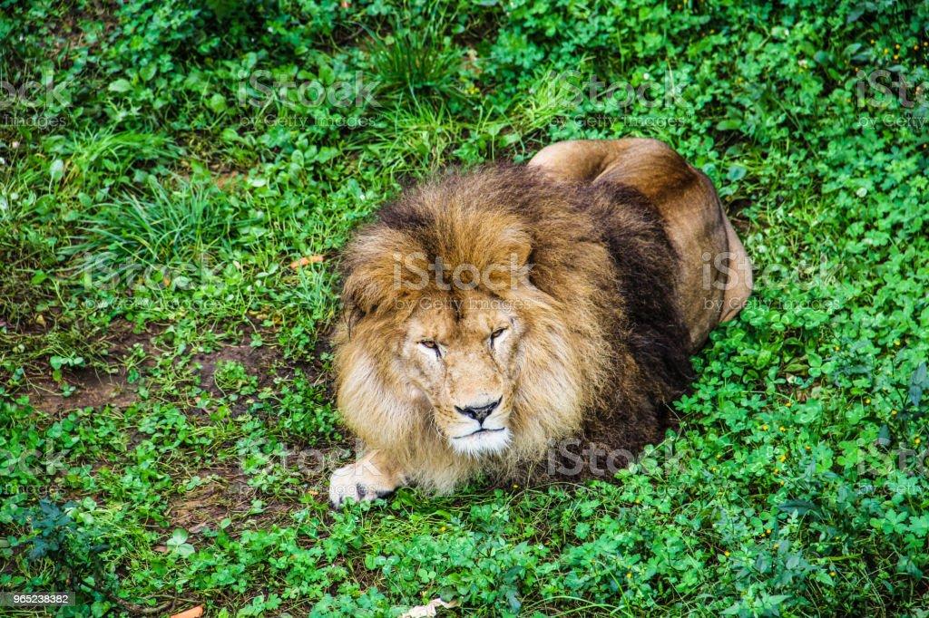China Yunan zoo Lion royalty-free stock photo