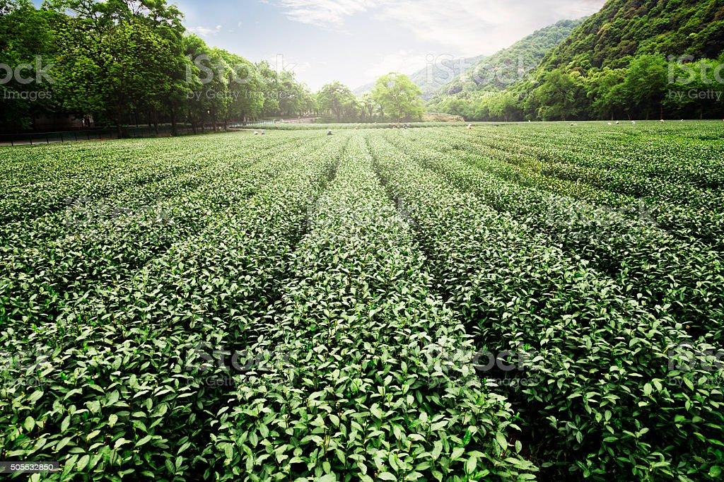 China's tea garden Lizenzfreies stock-foto