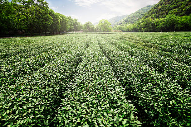China's tea garden China's tea garden greentea stock pictures, royalty-free photos & images