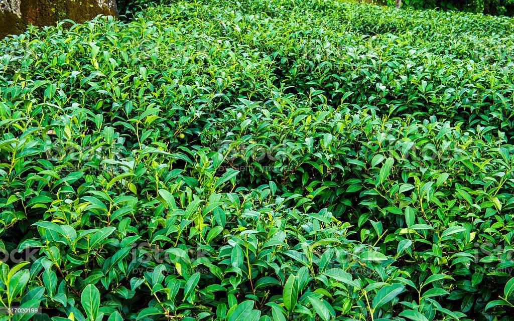 China,Taiwan, Tea Garden, Tea,  Life, Terraced Field, Green, Nature stock photo