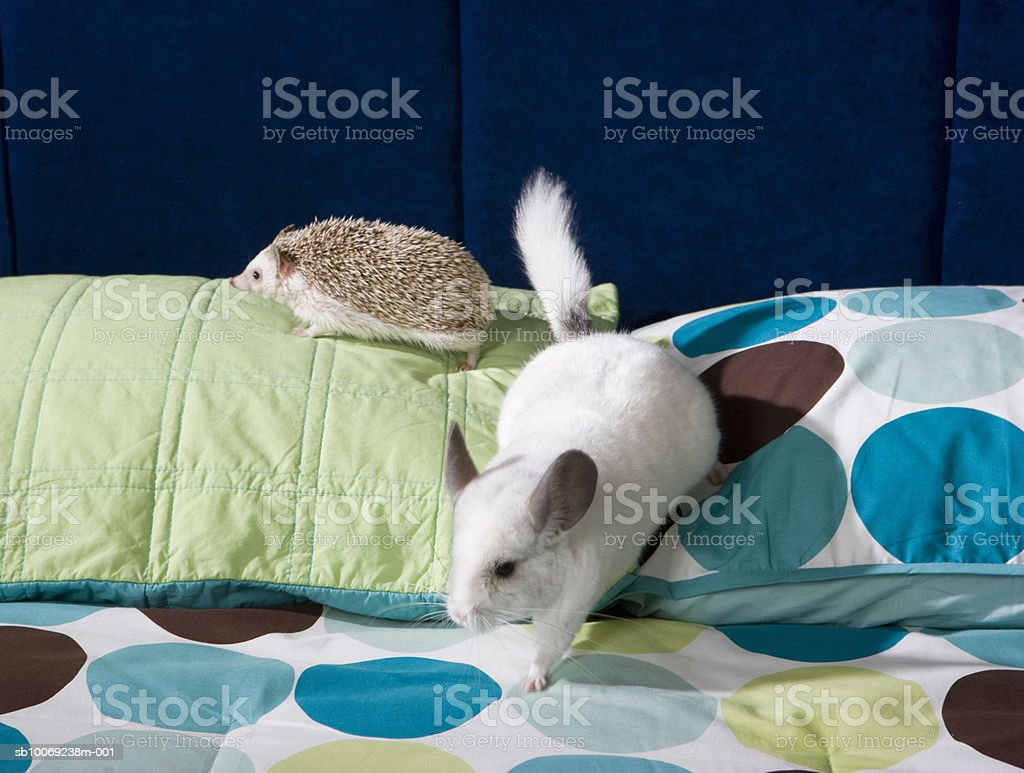 Chinchilla and hedgehog on bed royalty-free stock photo