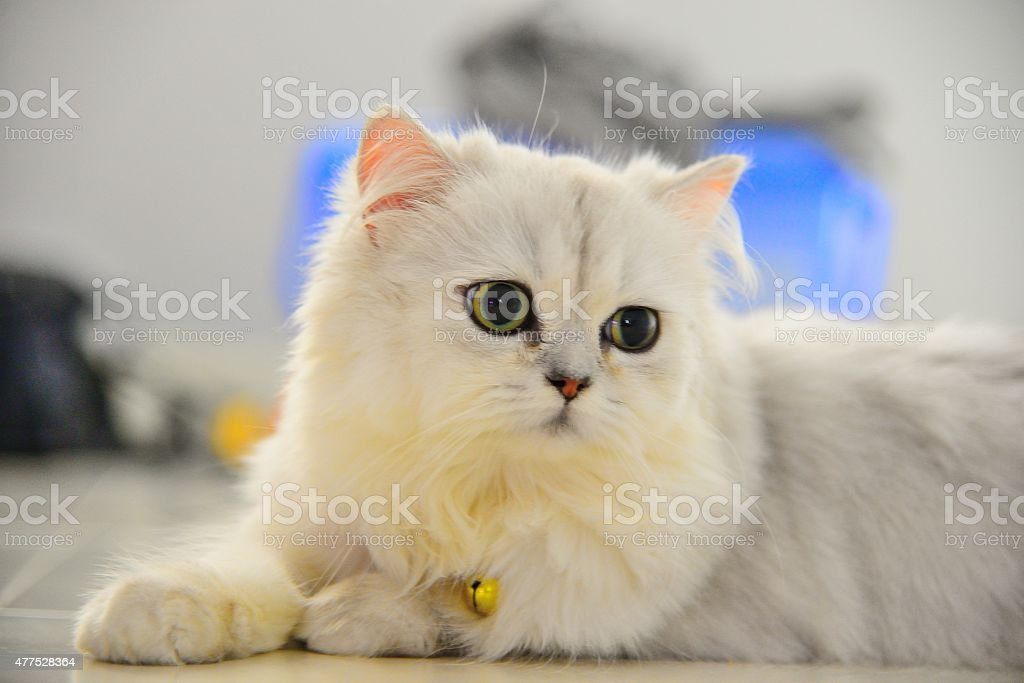 Chinchilla cat stock photo
