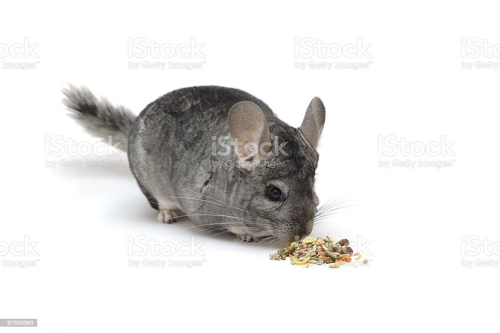 Chinchilla eating its food royalty-free stock photo