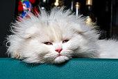 Chinchilla kitten, Scottish Fold LongHair, White Kitten Sleeping on the Bar