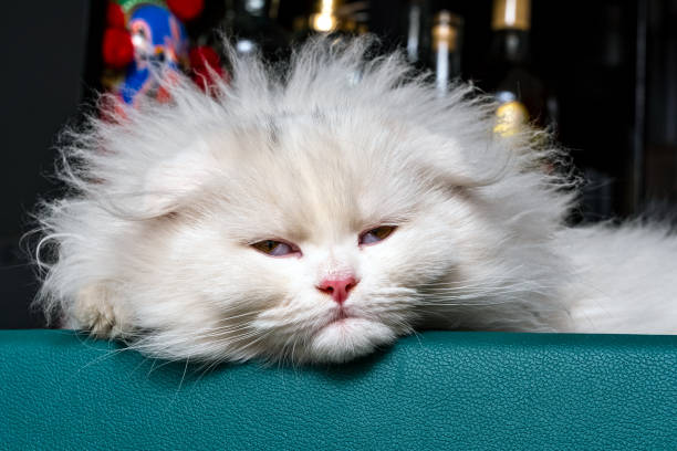 Chinchilla kitten scottish fold longhair white kitten sleeping on the picture id1286001342?b=1&k=6&m=1286001342&s=612x612&w=0&h=c4uk3gzxpgztldflgegklfubolkct4qivcto8mwlyug=