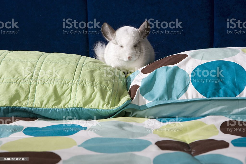 Chinchilla napping on pillow royalty-free stock photo
