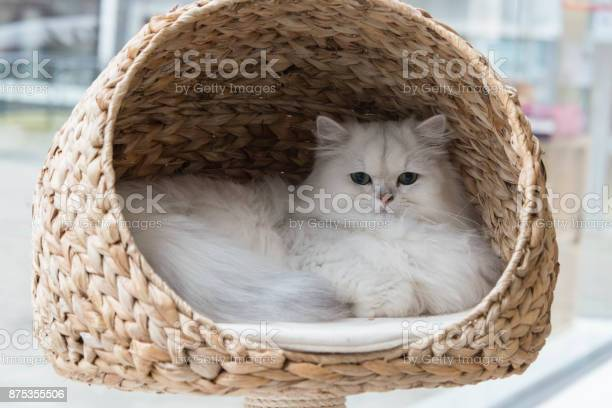 Chinchilla persian cat relaxing in a cat bed picture id875355506?b=1&k=6&m=875355506&s=612x612&h= z8234zxswmg quo0mjvxmlxgtyru8todifhiolumge=