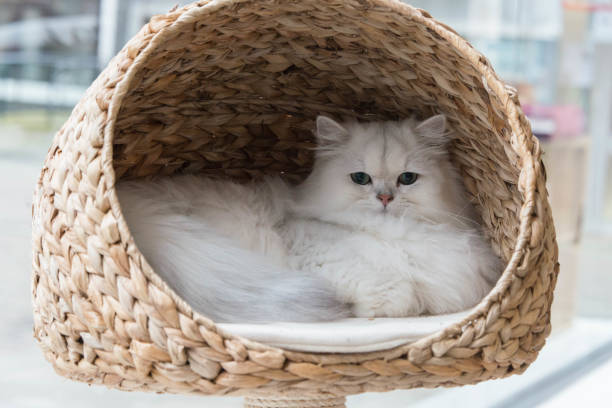 Chinchilla persian cat relaxing in a cat bed picture id875355506?b=1&k=6&m=875355506&s=612x612&w=0&h=ucvz1gpkjupd4mk0oj88dx7lbzzli4ul1zbg0hxkomc=