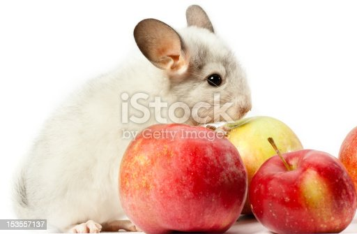 Rodent (white chinchilla) is sitting on white background with red apples