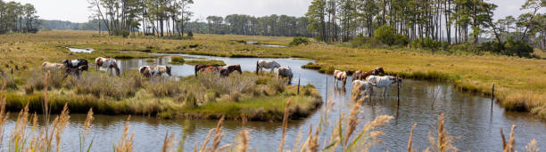 Chincoteague Ponies grazing in wetland stock photo