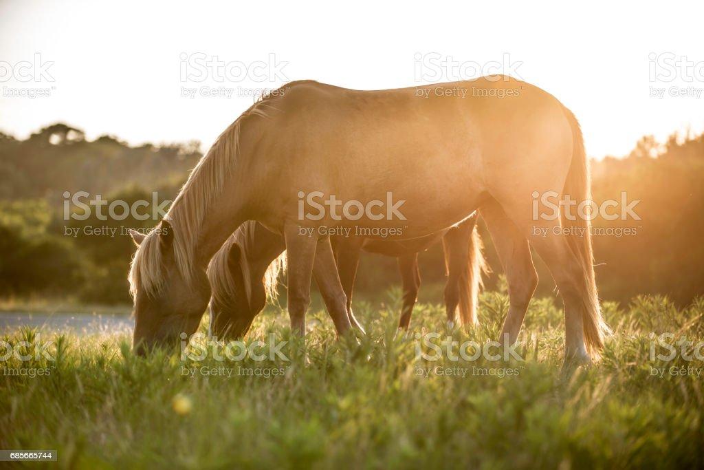친코티그 Ponies royalty-free 스톡 사진