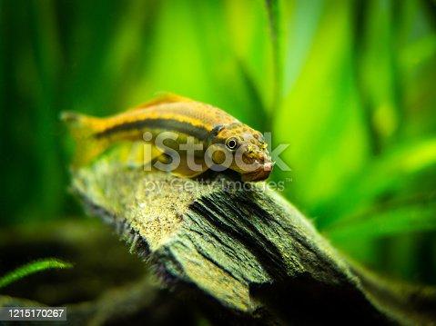 istock Chinese Algae Eater close up in fish tank (Gyrinocheilus aymonieri) with blurred background 1215170267