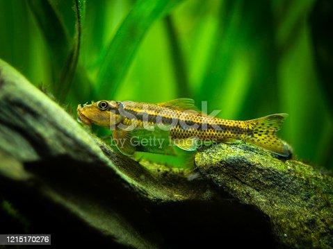 istock Chinese Algae Eater close up in fish tank (Gyrinocheilus aymonieri) with blurred background 1215170276