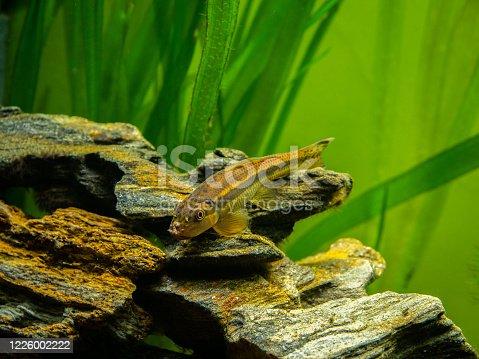 istock Chinese Algae Eater close up in fish tank (Gyrinocheilus aymonieri) with blurred background 1226002222
