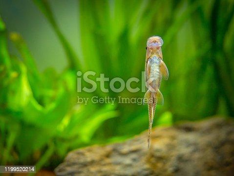istock Chinese Algae Eater (Gyrinocheilus aymonieri) eating on the aquarium glass 1199520214