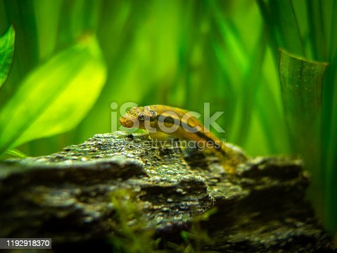 istock Chinese Algae Eater in fish tank (Gyrinocheilus aymonieri) 1192918370