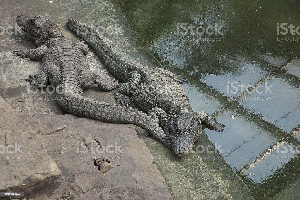Chinese alligator royalty-free stock photo
