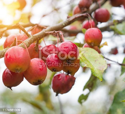 Chinese apple tree with small apples, heavenly apples, close-up, autumn, beautiful