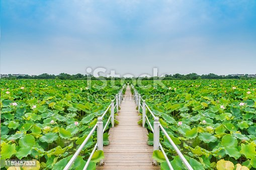 Chinese Asian Pond Lotus Pond