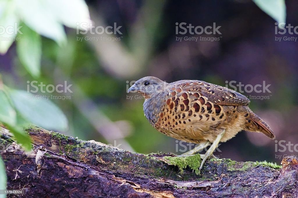 Chinese Bamboo Partridge royalty-free stock photo