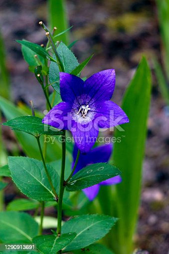 A Chinese blue bell blooms in the garden in summer
