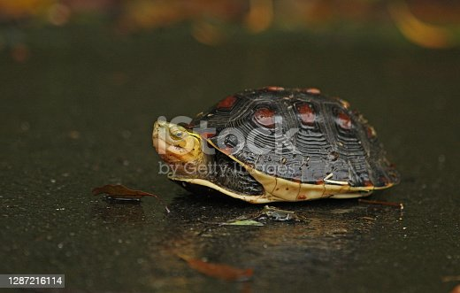 Chinese Box Turtle (Cistoclemmys flavomarginata) adult on road on rainy day with legs retracted