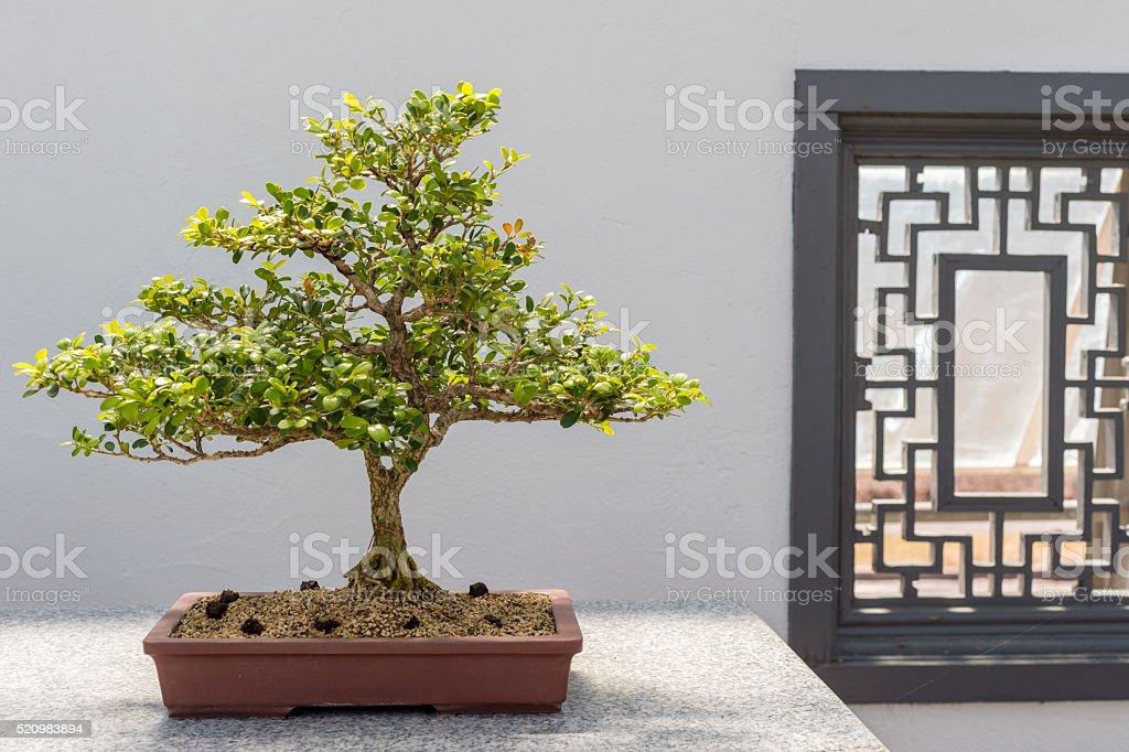 Chinese Boxwood Bonsai stock photo