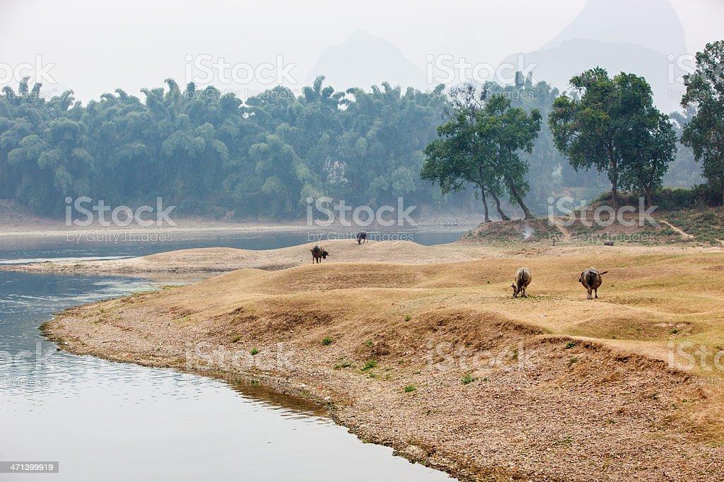 Chinese buffalos at the Li river royalty-free stock photo