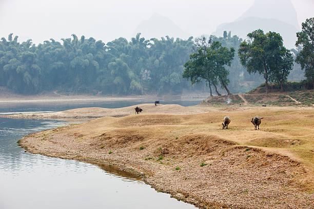 Chinese buffalos at the Li river stock photo