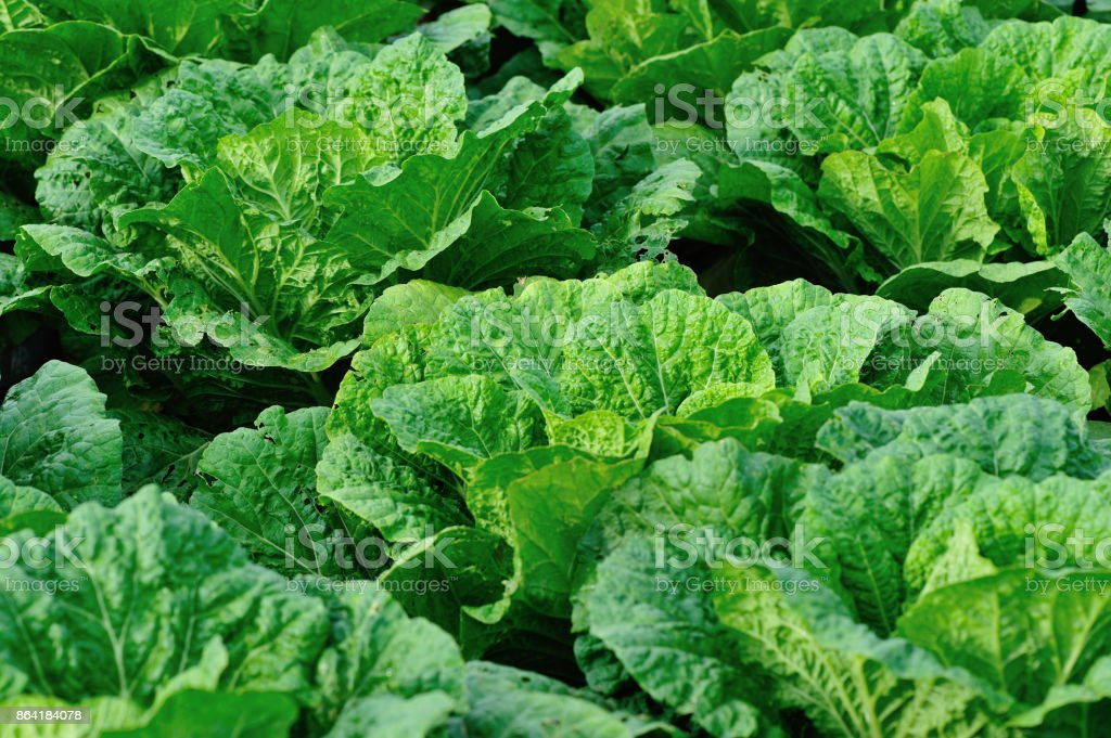 chinese cabbage crops in growth at field royalty-free stock photo