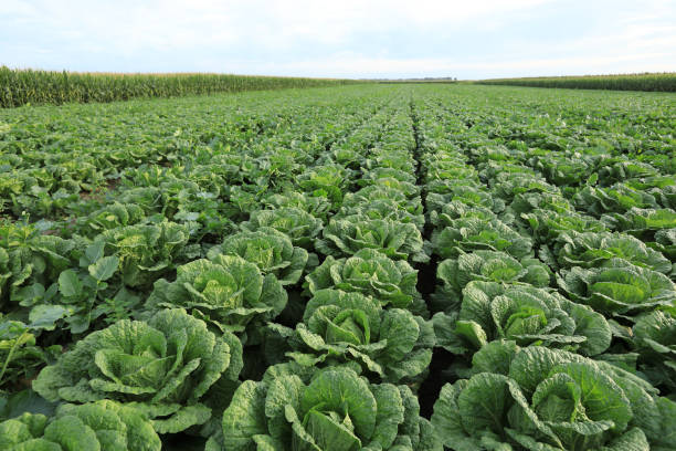 chinese cabbage crops in growth at field stock photo