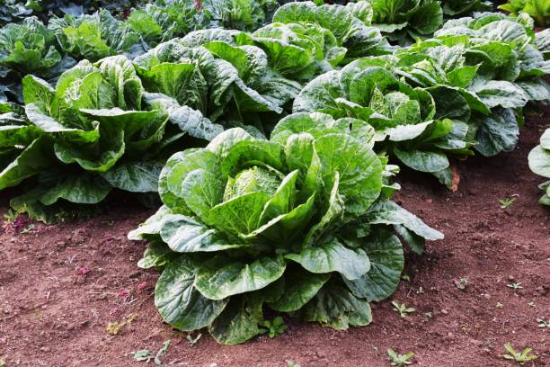 Chinese cabbage cultivation – zdjęcie