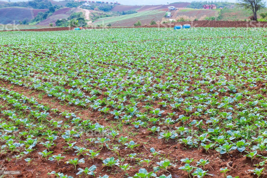 Chinese Cabbage Farm at North of Thailand royalty-free stock photo