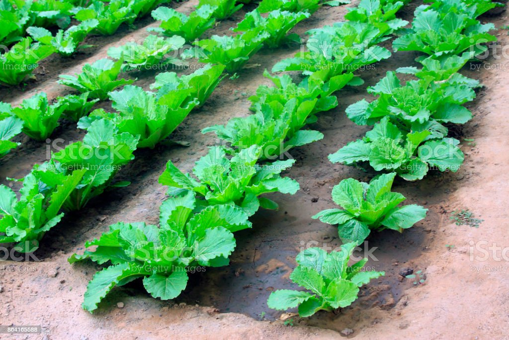 Chinese cabbage grow in the garden, closeup of photo royalty-free stock photo
