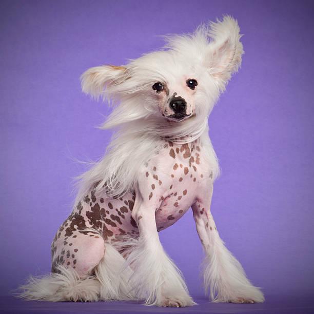 chinesischer schopfhund, 9 monate alt, sitzt - chinesische schopfhunde stock-fotos und bilder
