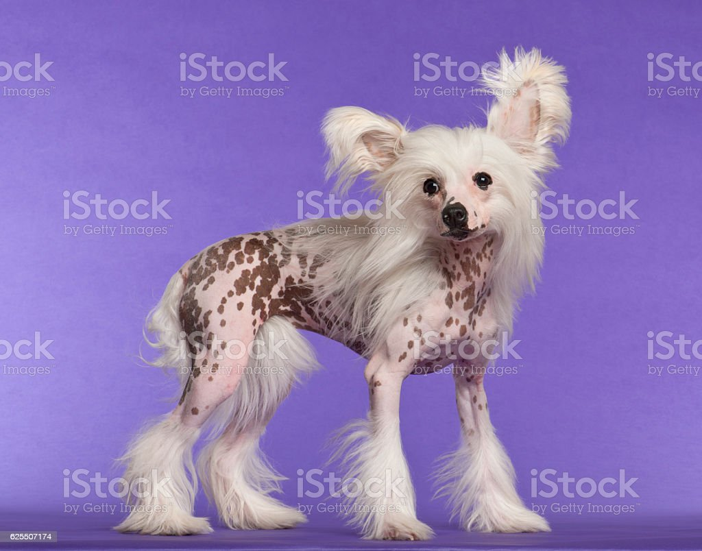 Chinese Crested Dog, 9 months old, standing against purple background stock photo