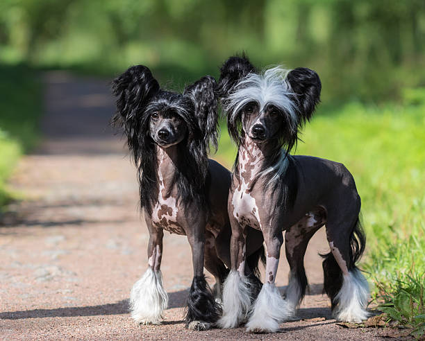 Chinese Crested Dog Breed. Male and Female dog. – Foto
