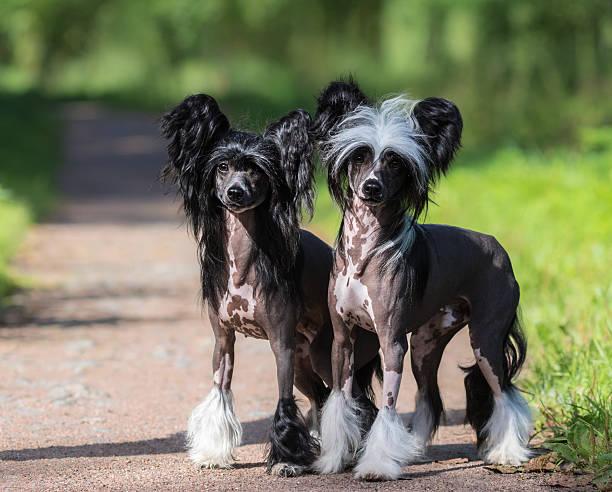 chinese crested dog breed. male and female dog. - chinesische schopfhunde stock-fotos und bilder