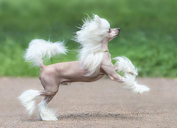 chinese crested dog breed. male dog. - chinesische schopfhunde stock-fotos und bilder